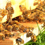 L'apicoltura. Una nuova frontiera a Santa Domenica Talao (CS)